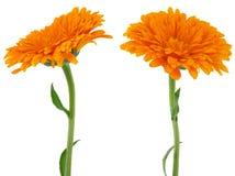 Flower of calendula. Flowers of calendula Isolated on white Royalty Free Stock Image