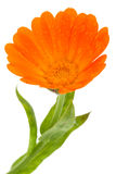 Flower of calendula Royalty Free Stock Photography