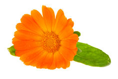Flower of calendula Royalty Free Stock Photos