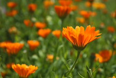 Flower - Calendula Royalty Free Stock Photos