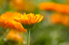Flower of calendula Royalty Free Stock Images
