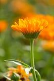 Flower of calendula. On blossom Royalty Free Stock Image