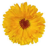 Flower calendula. The flower is deep yellow in color calendula, isolated on white background Stock Photo