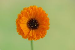 Flower of calendula. Royalty Free Stock Photography