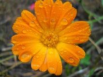 Flower medicin of calendula Stock Photos