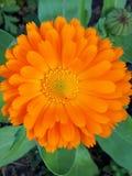 Curative Sun - Calendula royalty free stock image