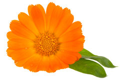 Flower of calendula Stock Images