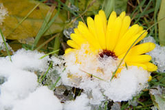 Flower of calendula in snow Stock Images