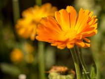Flower of calendula in summer stock image