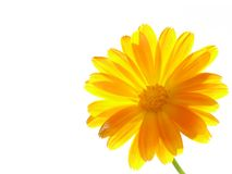 Flower of calendula on  white background. Royalty Free Stock Images
