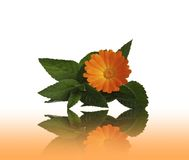 Flower calendulas and mint with a reflection Royalty Free Stock Image