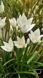 A flower called Crocus vernus royalty free stock photography