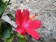 A flower called hawaiian hibiscus stock photo