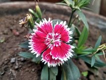 Flower called a sweet william stock images