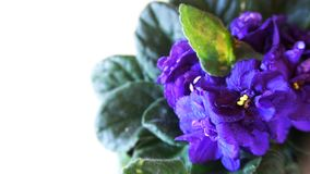 Flower called violet, has a large quantity in Brazil. stock image