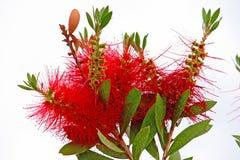 Flower of callistemon. Red bottlebrush flower callistemon. Plant is endemic to Australia Royalty Free Stock Photo