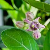 The flower Calotropis gigantea Royalty Free Stock Photography