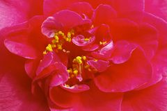 Flower Camellia Royalty Free Stock Image