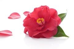 Flower of camellia. On white background Stock Photo