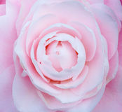 Flower of Camellia Stock Images