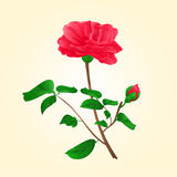 Flower Camellia Japonica with bud vector Royalty Free Stock Images