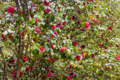 Flower camellia japonica Royalty Free Stock Image