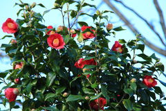 Flower of a camellia Stock Images