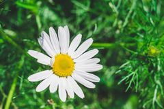 A flower of a camomile on a background of a green meadow royalty free stock photos