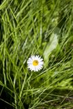 Flower of a camomile with white petals Stock Images