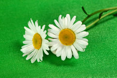 Flower camomiles royalty free stock photos