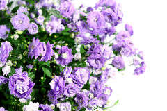 Flower campanula Royalty Free Stock Photo