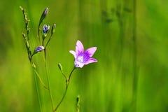 Flower Campanula patula L. Stock Photography