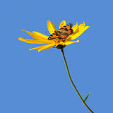 Flower of Canada popato and butterfly. On blue background Royalty Free Stock Photos