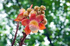 Flower of Cannon ball tree. Flower of Cannon ball tree on the natural background Stock Photography