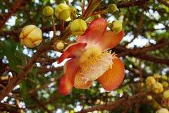 Cannonball tree. Royalty Free Stock Photo