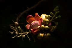 Flower of Cannonball tree. In the garden Stock Photos