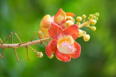 Flower of Cannonball tree. In the garden Royalty Free Stock Photos