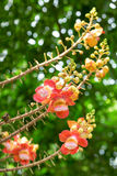 Flower of Cannonball tree. In the garden Royalty Free Stock Photo