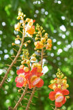 Flower of Cannonball tree. In the garden Stock Photography