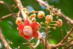 Flower of Cannonball tree. In the garden Stock Images