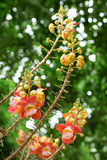 Flower of Cannonball tree. In the garden Royalty Free Stock Image