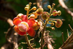 Flower of Cannonball tree. In the garden Stock Photo