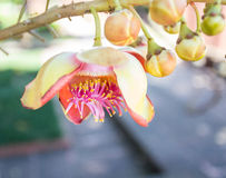 Flower of Cannonball Tree Stock Images