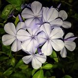 Flower. Cape leadwort, Leadwort Stock Image