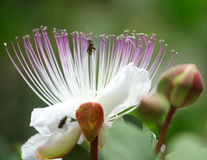 Flower caper. Insects climbs in pistils of the flower of capers Stock Images