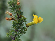 Flower of Caragana scythica Royalty Free Stock Photos