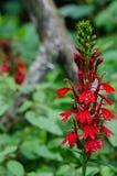Flower cardinal Imagen de archivo