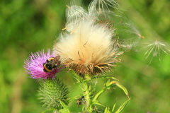 Flower of Carduus with bumblebee Stock Photo