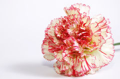 Flower of carnation Stock Photos