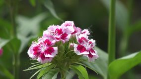 Flower carnation Turkish Dianthus barbatus. stock video footage